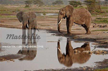 Deux éléphant d'Afrique (Loxodonta africana) boire, Parc National du Serengeti, Tanzanie, Afrique de l'est, Afrique