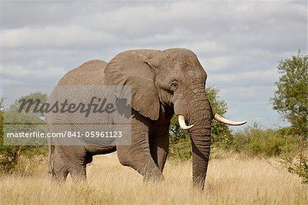 L'éléphant d'Afrique (Loxodonta africana), Parc National de Kruger, Afrique du Sud, Afrique