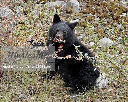 Schwarzbär (Ursus Americanus) Jungtier Essen kanadischen Stachelbeere Beeren, Jasper Nationalpark, Alberta, Kanada, Nordamerika