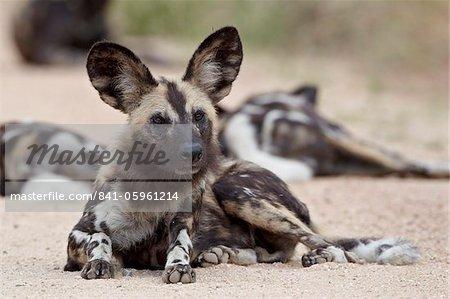 Sauvage africaine (African chien de chasse) de chien (chien de chasse de Cap) (Lycaon pictus), Parc National de Kruger, Afrique du Sud, Afrique