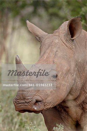 Blanc sans rhinocéros (Ceratotherium simum), Parc National de Kruger, Afrique du Sud, Afrique