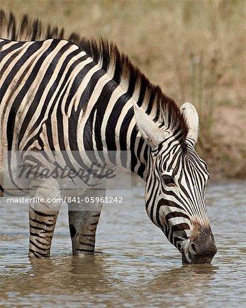 Zèbre de Chapman (Plains Zebra) (Equus burchelli antiquorum) boire, Kruger National Park, Afrique du Sud, Afrique