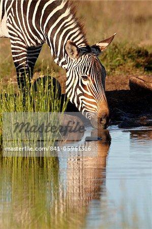 Zèbre de montagne du Cap (Equus zebra zebra) boire, Parc National du Mont Zebra, Afrique du Sud, Afrique