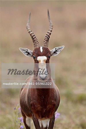 Blesbok (Damaliscus pygargus phillipsi), Parc National du Mont Zebra, Afrique du Sud, Afrique