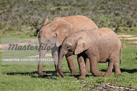 Deux jeunes éléphant d'Afrique (Loxodonta africana) queue, Addo Elephant National Park, Afrique du Sud, Afrique