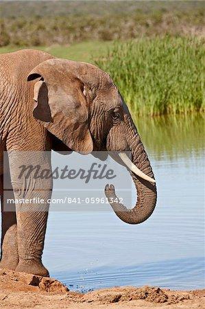 Éléphant d'Afrique (Loxodonta africana) boire, Addo Elephant National Park, Afrique du Sud, Afrique