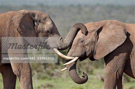 Deux éléphant d'Afrique (Loxodonta africana), Addo Elephant National Park, Afrique du Sud, Afrique