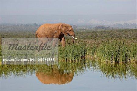 L'éléphant d'Afrique (Loxodonta africana), Addo Elephant National Park, Afrique du Sud, Afrique