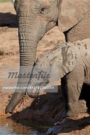 L'éléphant d'Afrique (Loxodonta africana) adulte soutenant un bébé à boire, Addo Elephant National Park, Afrique du Sud, Afrique