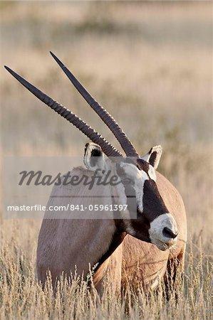 Gemsbok (oryx d'Afrique du Sud) (Oryx gazella) manger, Kgalagadi Transfrontier Park, qui englobe l'ancien Kalahari Gemsbok National Park, Afrique du Sud, Afrique