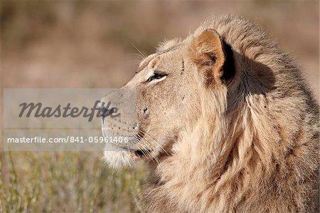Lion (Panthera leo), Kgalagadi Transfrontier Park, qui englobe l'ancien Kalahari Gemsbok National Park, Afrique du Sud, Afrique