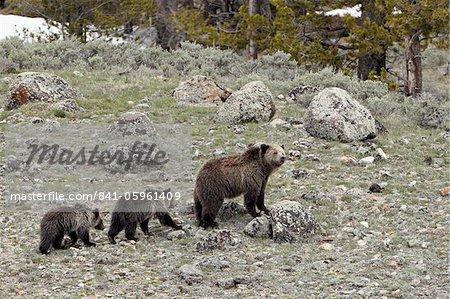 Semer le grizzli (Ursus arctos horribilis) avec deux oursons âgés d'un an, le Parc National de Yellowstone, patrimoine mondial de l'UNESCO, Wyoming, États-Unis d'Amérique, Amérique du Nord