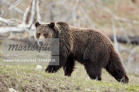 Grizzli (Ursus arctos horribilis), Parc National de Yellowstone, l'UNESCO World Heritage Site, Wyoming, États-Unis d'Amérique, Amérique du Nord