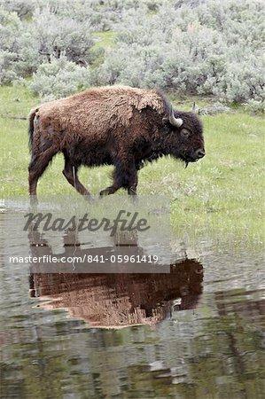 Bison (Bison Bison) spiegelt sich in einem Teich, Yellowstone National Park, UNESCO Weltkulturerbe, Wyoming, USA, Nordamerika