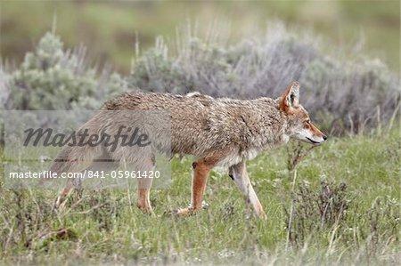 Coyote (Canis latrans), Parc National de Yellowstone, l'UNESCO World Heritage Site, Wyoming, États-Unis d'Amérique, Amérique du Nord