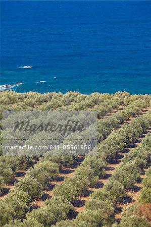 Olive groves, Chania, Crète, îles grecques, Grèce, Europe