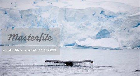 Humpback whale dives into the depths of Paradise Harbour, Antarctic Peninsula, Antarctica, Polar Regions