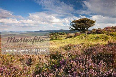 Flowering heather on Porlock Common, Exmoor National Park, Somerset, United Kingdom, Europe