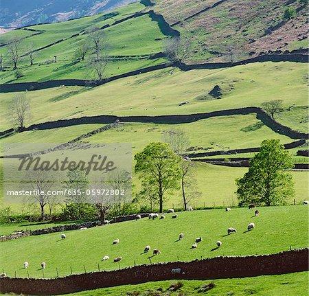 Moutons paissant sur colline rural