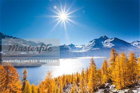 Larch Trees, Lake Sils and Piz de la Margna, Engadin, Canton of Graubunden, Switzerland