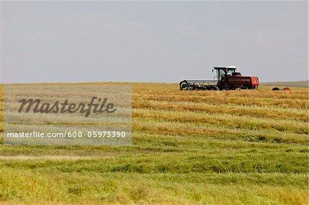 Thrasher Harvesting Canola Field, Pincher Creek, Alberta, Canada