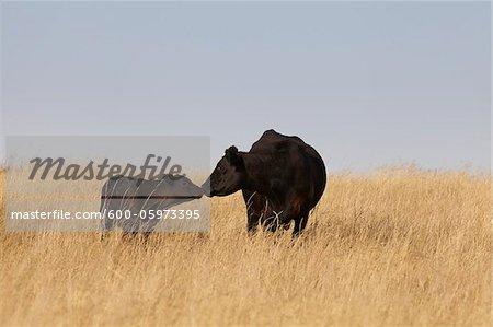 Schwarze Rinder, Kuh und Kalb, stehend im Feld, Pincher Creek, Alberta, Kanada