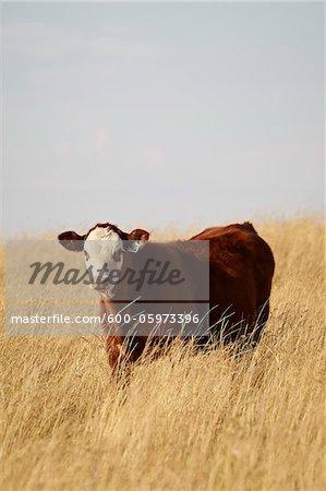 Bovins de boucherie veau permanent dans le domaine, Pincher Creek, Alberta, Canada