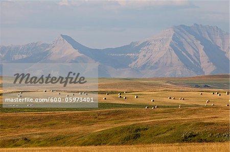 Hay Bales in Fields, Rocky Mountains in Distance, Pincher Creek, Alberta, Canada