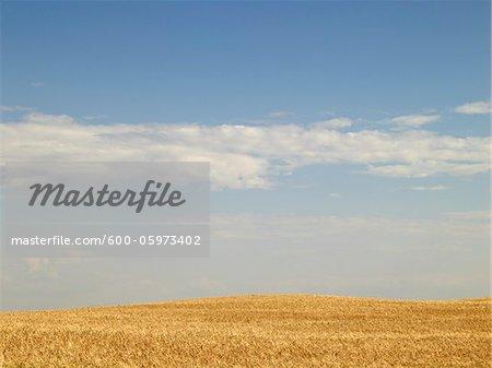 Champ de blé prêt pour la récolte, Pincher Creek, Alberta, Canada