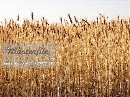 Close-up of Ripened Wheat Stalks in Field, Pincher Creek, Alberta, Canada