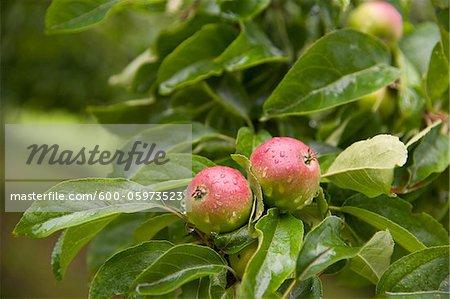 Pommes sur l'arbre, Fribourg, Bade-Wurtemberg, Allemagne