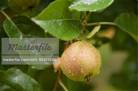 Gros plan des pommes sur l'arbre, Fribourg, Bade-Wurtemberg, Allemagne
