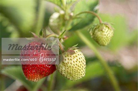 Ripe Strawberry on Vine, DeVries Farm, Fenwick, Ontario, Canada