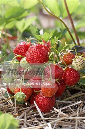 Ripe Strawberries on Plants, DeVries Farm, Fenwick, Ontario, Canada