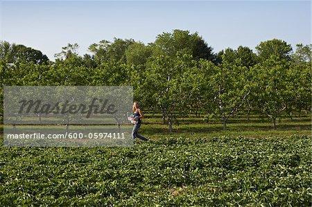 Young Woman Harvesting Strawberries, Fenwick, Pelham, Ontario, Canada