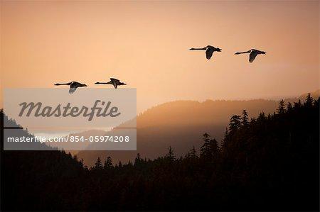 COMPOSITE : cygne en vol au coucher de soleil sur la forêt nationale de Tongass, Inside Passage, sud-est de l'Alaska, printemps