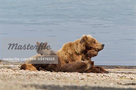 Un ours brun semer repose avec 4 de ses oursons de printemps sur la plage de Naknek Lake, Brooks Camp, Katmai National Park, au sud-ouest, de l'Alaska, l'été