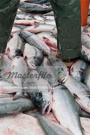 Sockeye salmon pile up on the deck of a drift boat, Naknek District in Bristol Bay region, Southwest Alaska, Summer