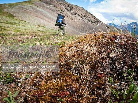 Backpacker hiking through tundra tussock above the Hulahula River, Arctic National Wildlife Refuge, Brooks Range, summer in Arctic Alaska