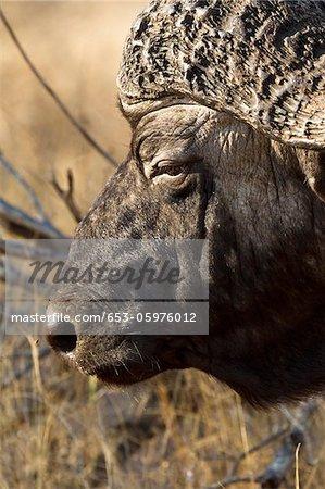 Un buffle d'Afrique, headshot close-up