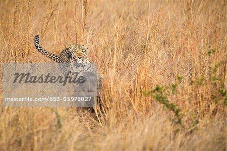 Un léopard chasse un phacochère à travers les hautes herbes