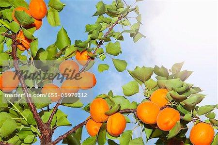 Le soleil qui brille sur les abricots qui poussent sur un abricotier
