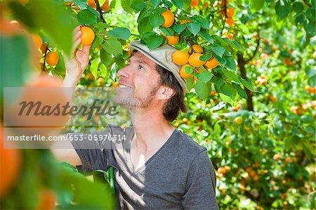 Un homme choisir un abricot hors un abricotier