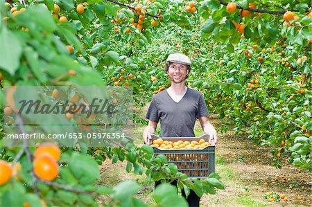 Un homme tenant une caisse remplie d'abricots dans un verger