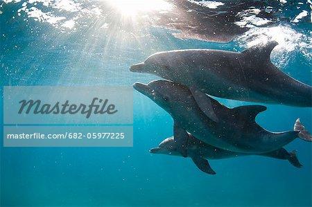 Underwater image of three bottlenose dolphin (Tursiops truncatus), Ponta do Ouro, Mozambique