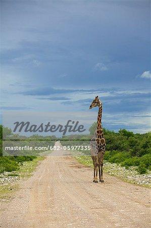 Une vue grand angle d'une girafe marchant le long d'un chemin de terre, Parc National d'Etosha, Etosha, Namibie