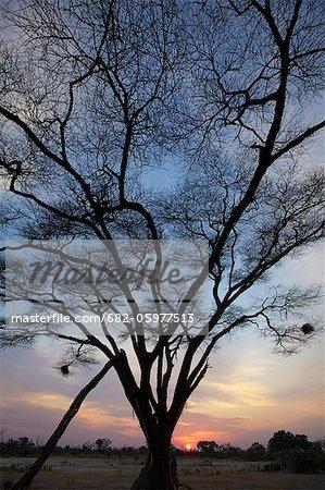 Une silhouette d'un arbre à l'aube, Delta de l'Okavango, Botswana