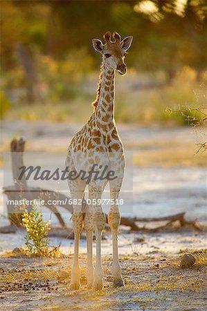 A full length view of a young Giraffe, Okavango Delta, Botswana