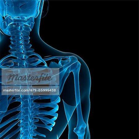 Upper body bones, computer artwork.