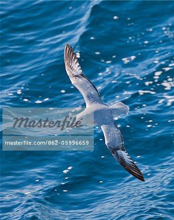 A Southern Antarctica Fulmar in flight. These birds have a circumpolar distribution at sea.